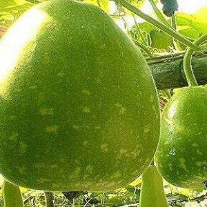 Fresh Ribbed Gourd Suppliers