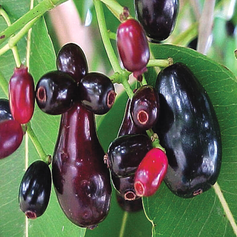 Fresh Black Berry Fruits