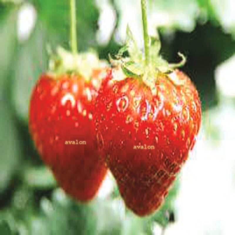 Frozen Organic Strawberry fruits